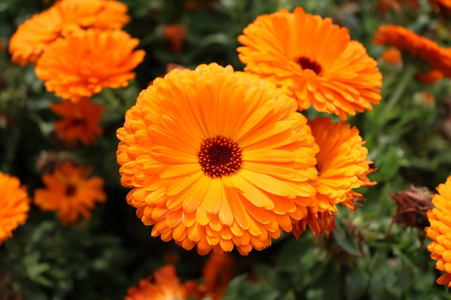 oranžový měsíček